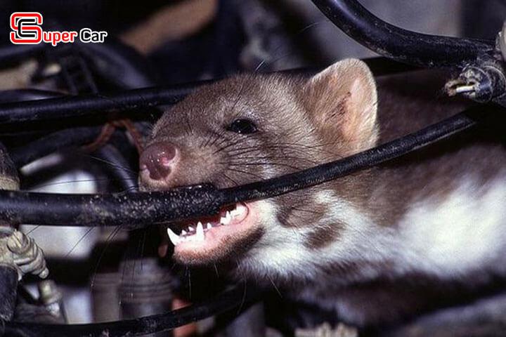 Mẹo chống chuột trên xe ô tô hiệu quả 1